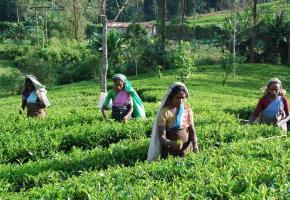 L'histoire de l'île est inséparable de celle du thé.DR