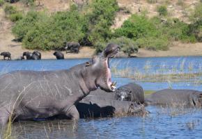 Les « hippos » sont les maîtres des eaux. DR