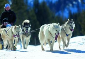 Le charme des chiens de traîneau, comme en Laponie.  Photos Thyon-Région Tourisme