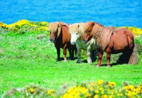 Les fameux petits poneys des îles Shetland sont un des symboles de l'Ecosse.