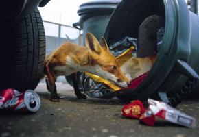 Les renards sont nombreux en ville et n'hésitent déjà pas à s'attaquer aux poubelles. Inutile donc de vouloir en attirer plus en leur donnant des restes. DR