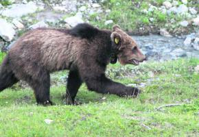 l'ours M13