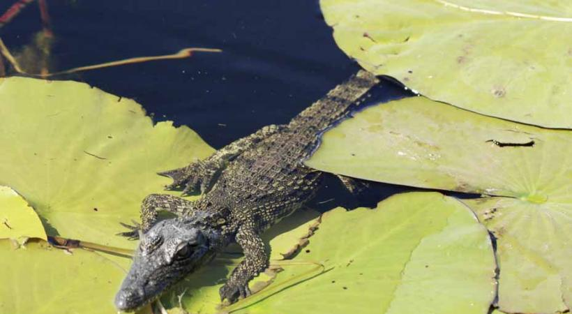 Tiens, là, un petit crocodile est posé sur une plante aquatique!