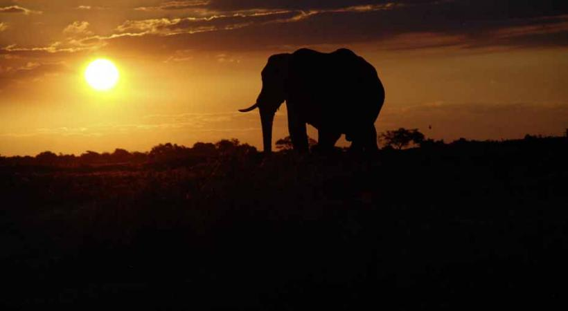 Au Botswana, l'éléphant est roi.