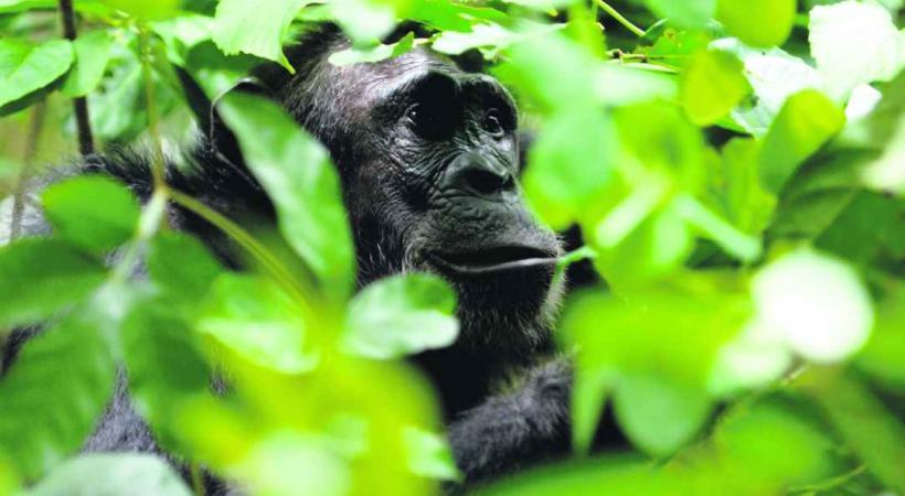 Rencontre avec un Chimpanzé dans le Parc national de Mahalé.