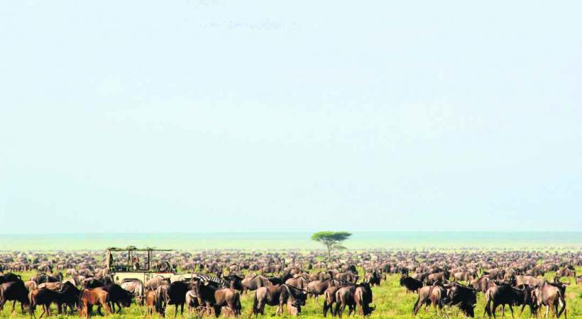 Le Parc national Serengeti est, avec le Masaï Mara au Kenya voisin, le théâtre spectaculaire des migrations des gnous.