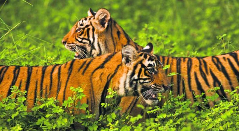 Tigres du parc Ranthambore.