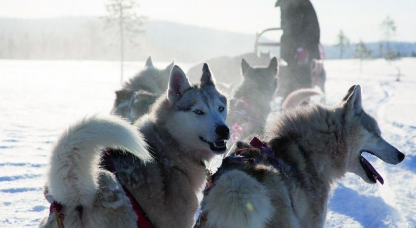 Quelques minutes suffisent pour s'initier à la motoneige. Une expérience unique: l'observation des aurores boréales. Les huskies, incontournables compagnons d'aventure.