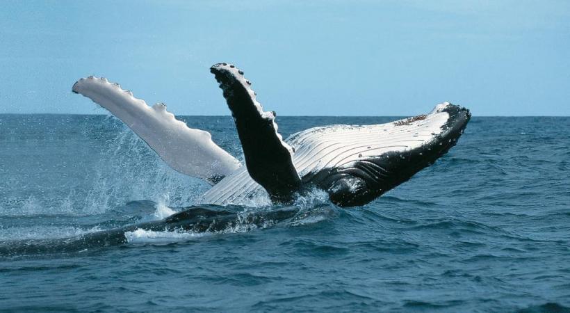 Les baleines, un spectacle inoubliable.
