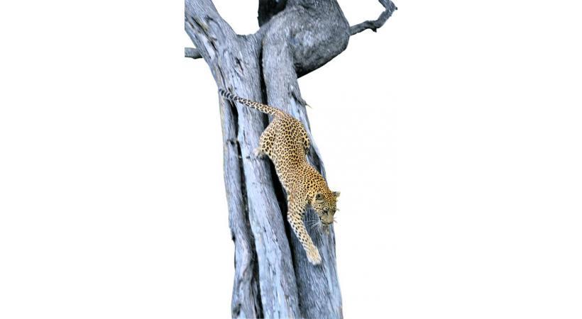 Un félin dans la réserve de Moremi.