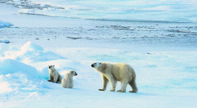 Certains ours se laissent approcher en bateau mais une distance de sécurité est maintenue face au seigneur des lieux. Les phoques barbus, peu farouches, sont parmi les proies régulières de l'ours. Les paysages du Spitzberg , faits de pics et de glaces, aux couleurs irréelles de minuit.