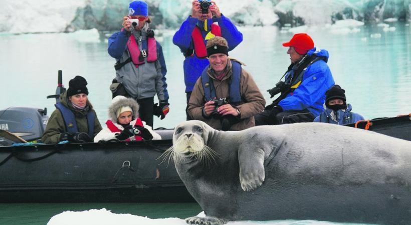 Les phoques barbus, peu farouches, sont parmi les proies régulières de l'ours.