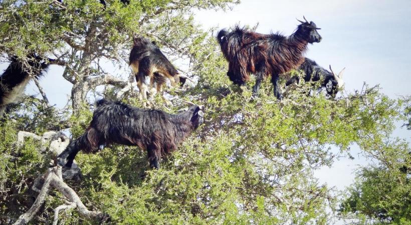 Les chèvres et l'argan, une histoire ancestrale. DR