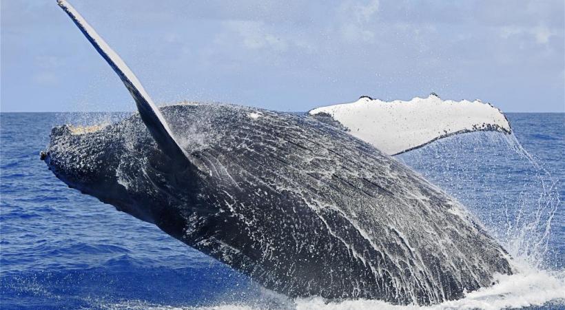 Baleine à bosse au large de Sainte-Marie en juin dernier.