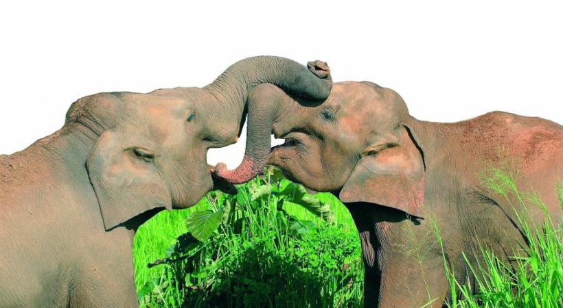 Eléphants dans le Parc national de Minneriya. ALAIN BOSSU