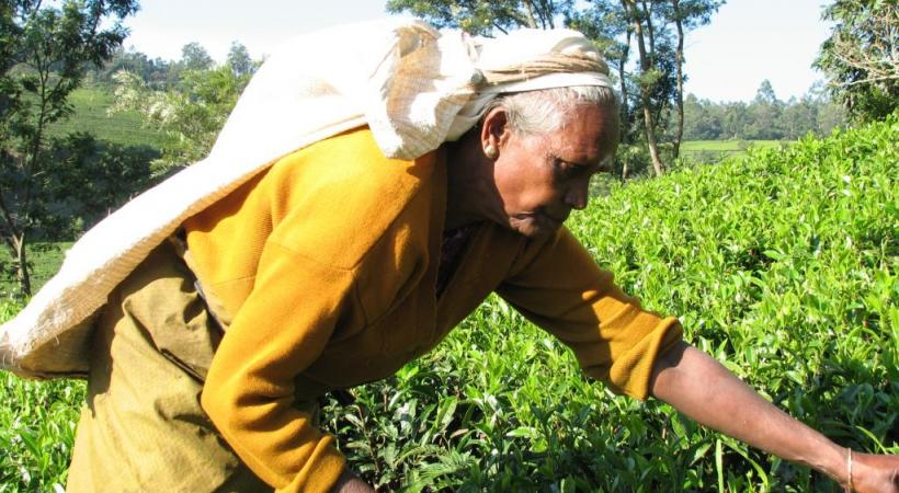 Récolte du thé à Nuwara Eliya. ALAIN BOSSU