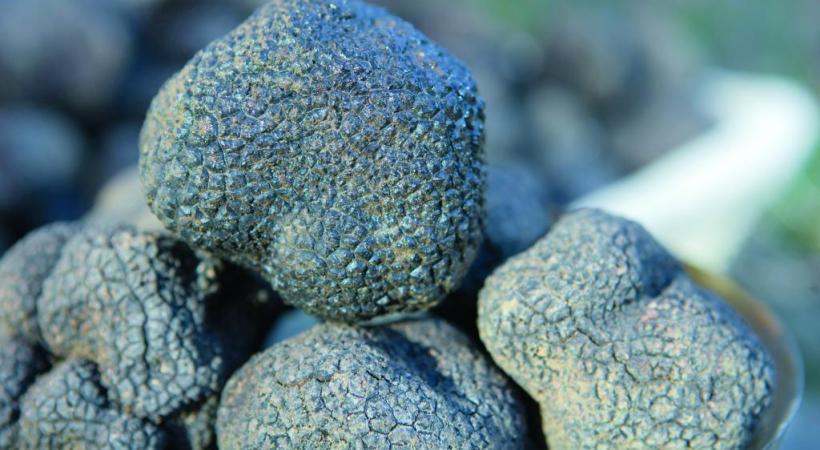 La fameuse truffe noire Tuber melanosporum. L.PASCALE-LADRôMETOURISME