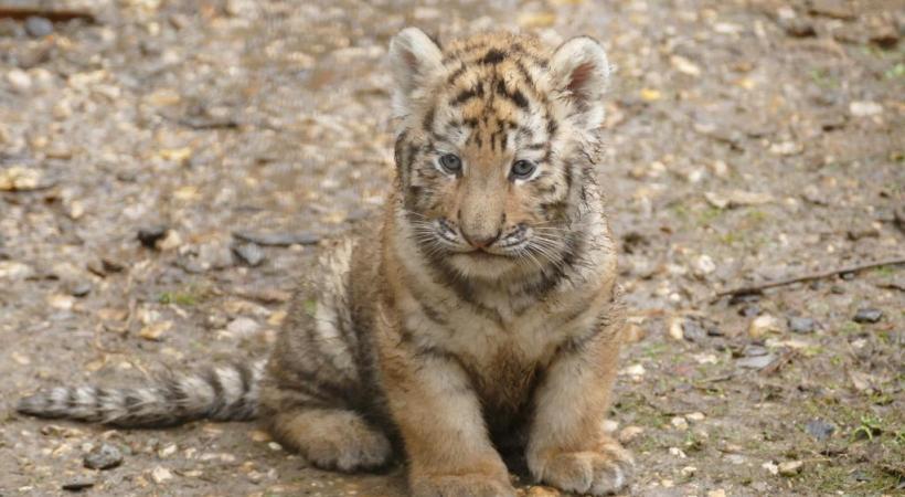 trois bébés tigres qui ont fait le buzz sur la page Facebook de la Citadelle. VILLE DE BESANçON