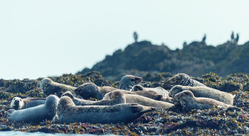 Phoques gris de l'archipel de Molène, à deux pas d'Ouessant. CRTB - Emmanuel Berthier