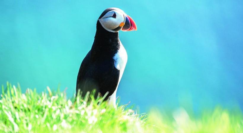 Le macareux moine, un oiseau marin que l'on trouve en Islande et dans les îles Lofoten, en Norvège.