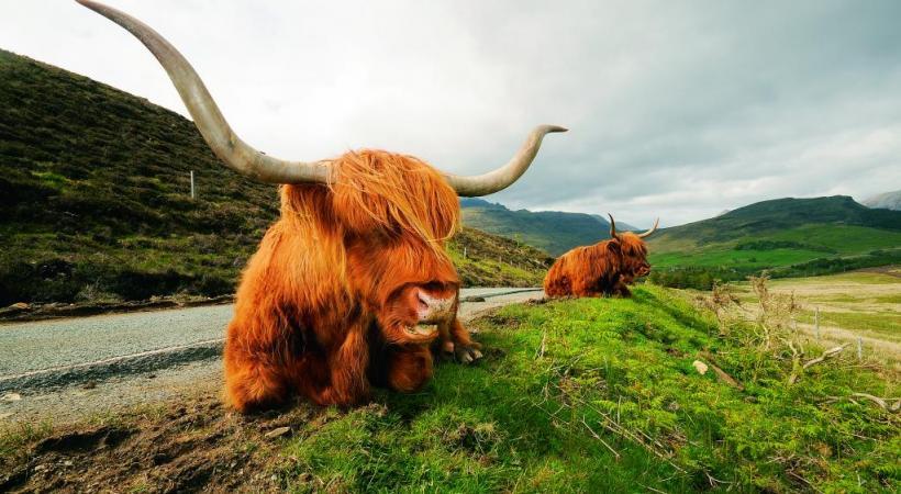 La highland est un bovin originaire du nord de l'Ecosse.