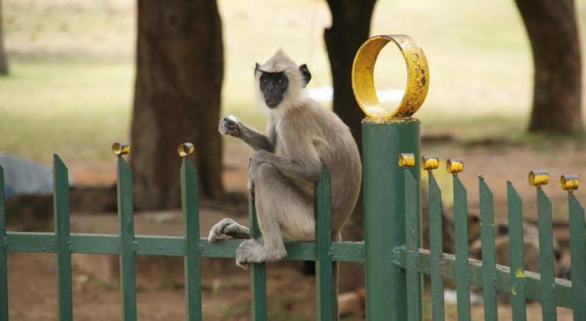 Il est fréquent de croiser un singe quand on se balade au Sri Lanka. DR