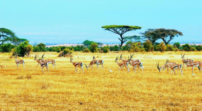 Les antilopes, au milieu de la mythique savane africaine.