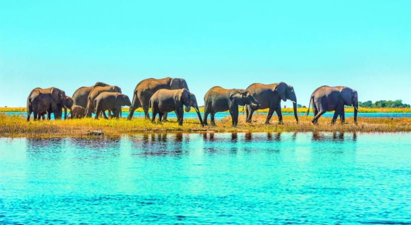 Au Botswana, on compte quelque 60'000 éléphants. La plus grande communauté  de pachydermes du Continent noir se trouve dans le parc de Chobé.