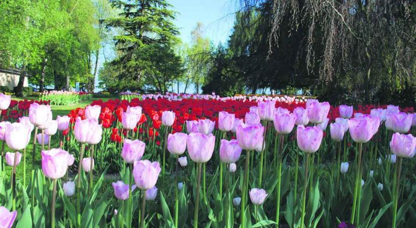 www.morges-tourisme.ch/tulipe